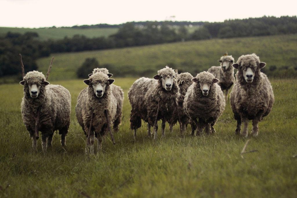 Troupeau de moutons - Salvateur